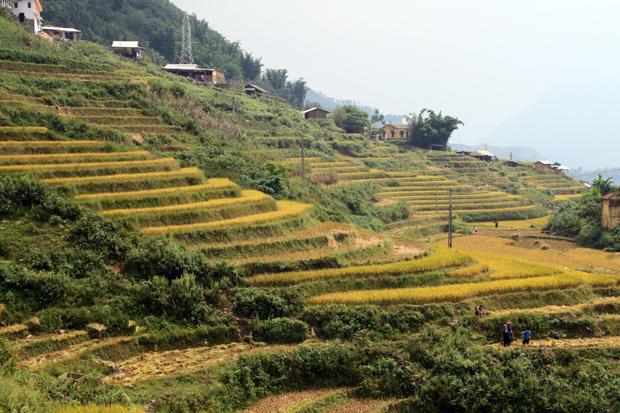 Rice Paddies Sapa Vietnam
