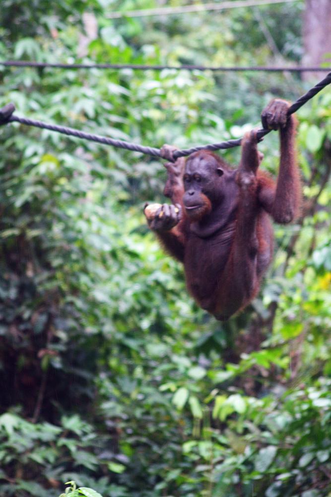 Orang-Utan Sepilok Sandakan Sabah Borneo Malaysia Jahr des Affen