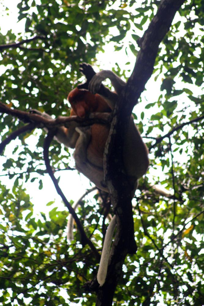 Nasenaffee Bako-Nationalpark Kuching Sarawak Borneo Malaysia Jahr des Affen