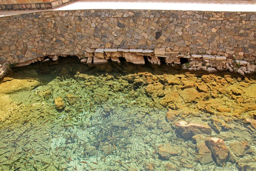 nurata-kysylkum-uzbekistan-chashma-source-fishes
