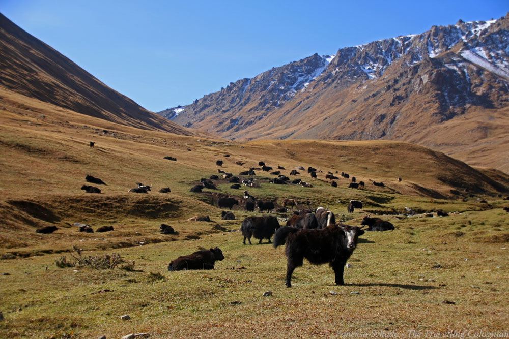 Yaks Kyrgyzstan Central Asia ASIA